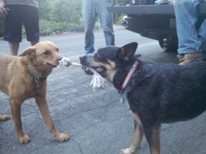 Dogs playing tug of war. Spoiler alert - Lola (Kim's dog) wins.